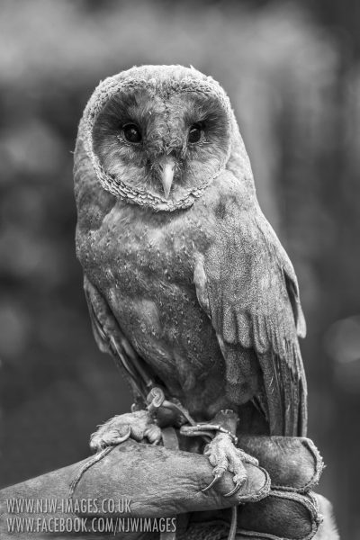 Grey Barn Owl (Captive)
