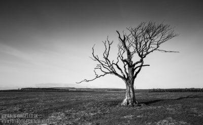 Lone Tree - Northumberland
